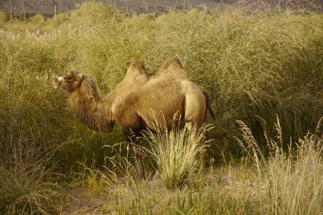 En dan toch; kamelen op de Zijderoute