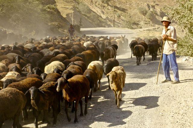 Kuddes schapen zijn dagelijks voorkomende verkeersdeelnemers
