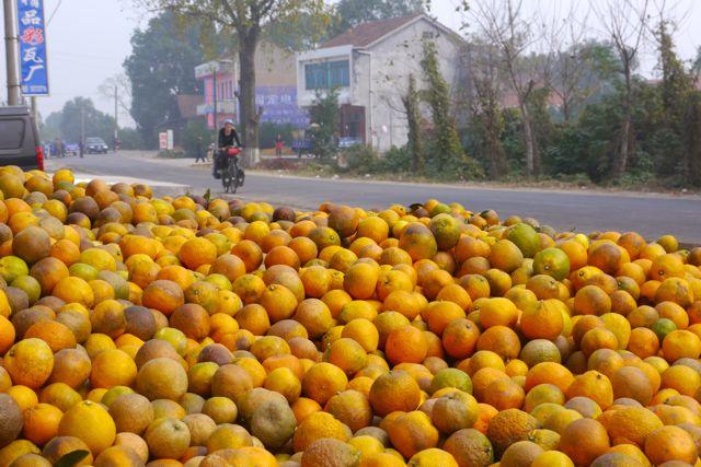 Na de mais, uien, kool, chili, kiwi's, paddestoelen zijn nu de sinasappelen en mandarijnen aan de beurt. Het hele gebied ten zuiden van de Yangze hangt er vol mee.