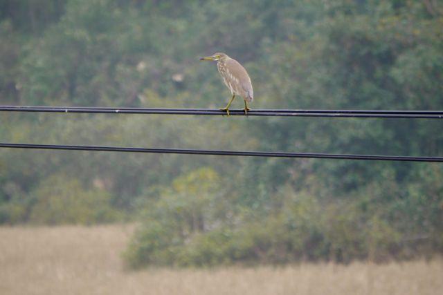 Vreemde vogel; het is een soort koereiger? In vlucht lijkt ie bijna helemaal wit te zijn met alleen een donkere vlek tussen z'n vleugels.
