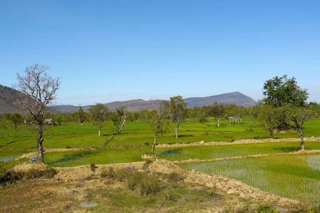 Net aangeplante rijstvelden.