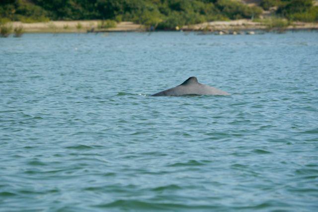 Ja daar! Een Irrawaddy dolfijn!