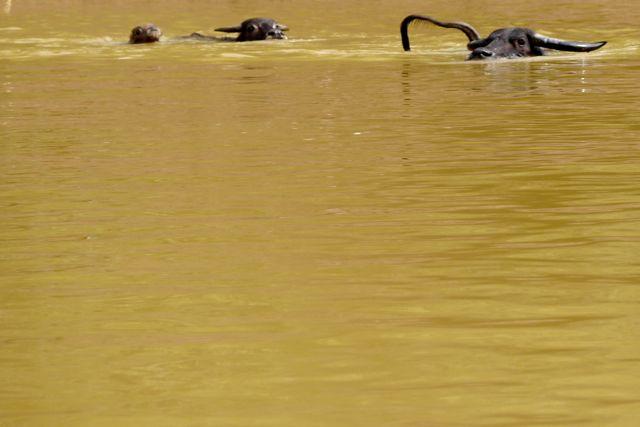 Wat je noemt; waterbuffels.