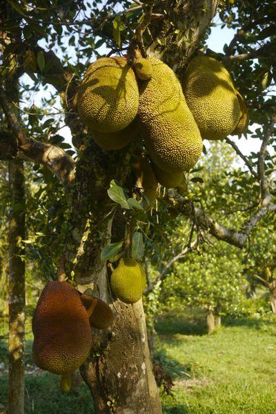 Durian - ook wel stikfruit genoemd. (En ja, het stinkt inderdaad maar smaakt best lekker.)